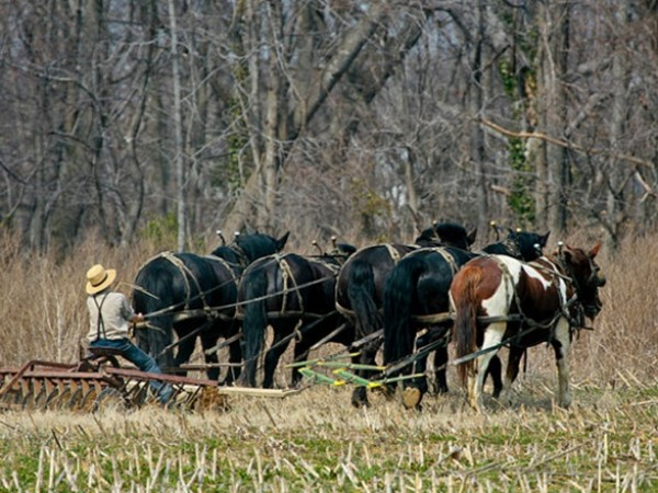 Amish team of 5 plowing field